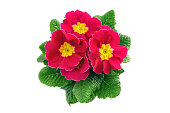 top view of Primula flower pot with red flower heads. isolated background