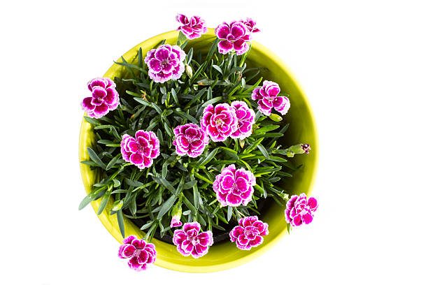 Top view of purple mini carnation dianthus in colorful flower stock photo