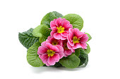 top view of red pink primula flowerpot on white isolation.