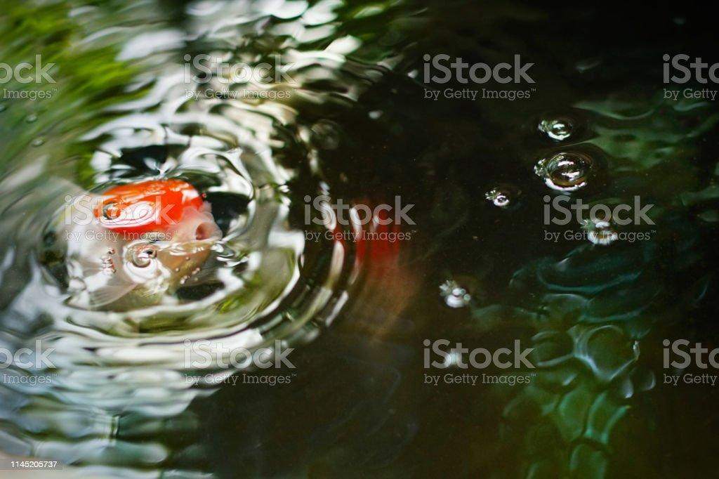 Top View Of Redheaded Oranda Goldfish In Nature Pool Cute