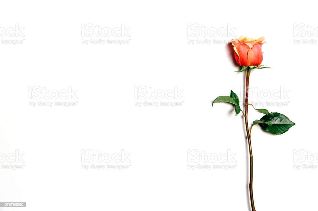 Top view of rose over white background royalty-free stock photo