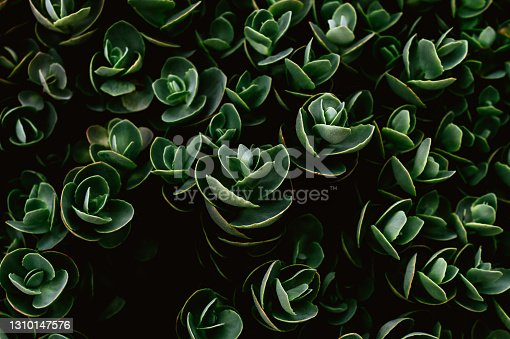 istock Top view of Sedum ewersii green gardenplant. Green leaves pattern background. 1310147576