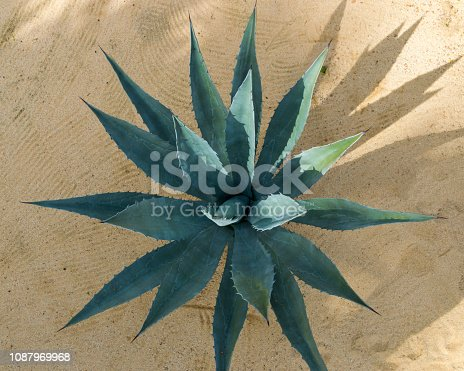 This is a top down view of a succulent plant growing in Baja California.  This view gives an interesting perspective of the leaves and shape of the plant.