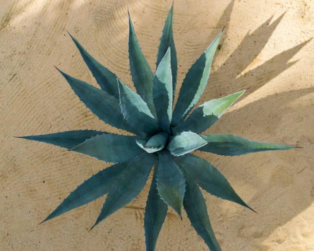 baja california etli bitki büyüyen üstten görünüm - agave stok fotoğraflar ve resimler