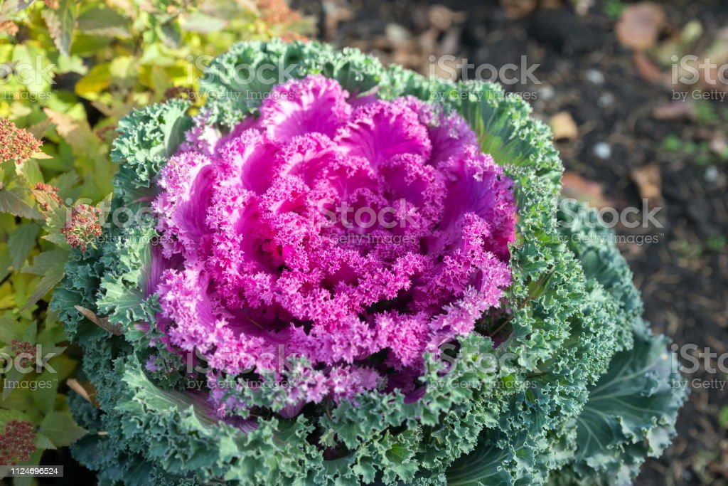 Top view of the decorative cabbage growing in a flower bed. Hybrid variety 'Nagoya Red F1'.