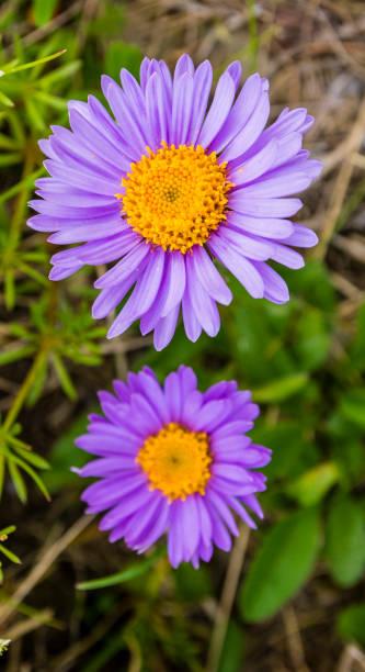 Çiçek Aster alpinus üst görünümü. stok fotoğrafı