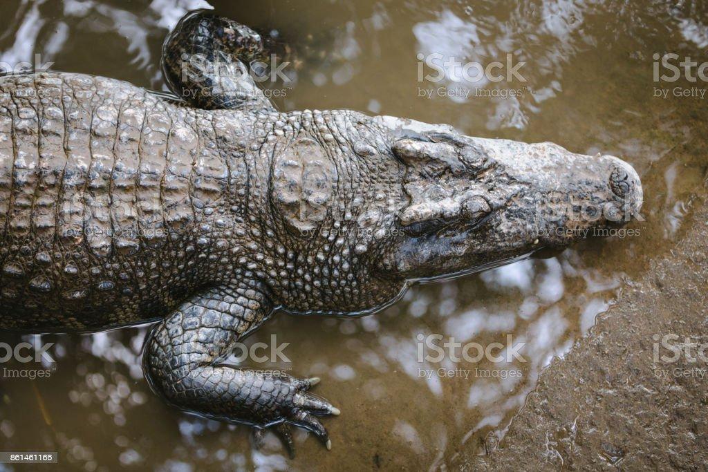 Draufsicht Auf Den Kopf Von Einem Alligator Stock-Fotografie und ...