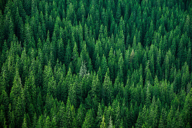 top view of the tops of trees - evergreen tree stock photos and pictures