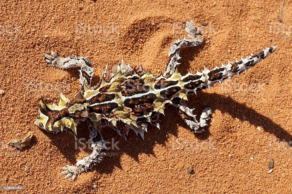 Top view of Thorny Devil stock photo