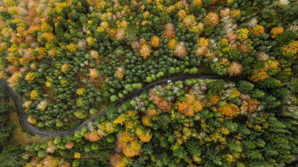 Top view of turn road bend in autumn pine forest. stock photo