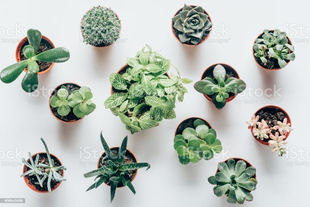 top view of various green succulents in pots on white royalty-free stock photo