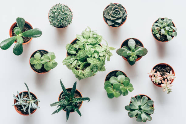 top view of various green succulents in pots on white stock photo