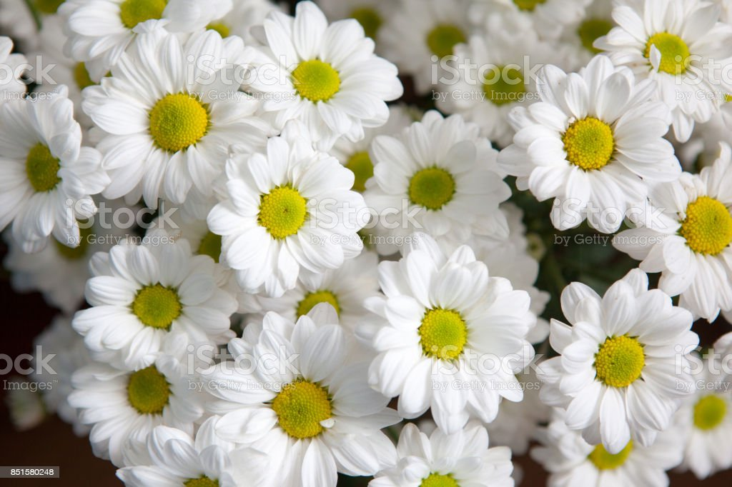 Top View Of White Chrysanthemum Flowers Bouquet For Background Stock