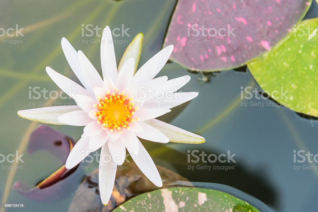 Top View of White Lotus Flower in Wate Pond stock photo
