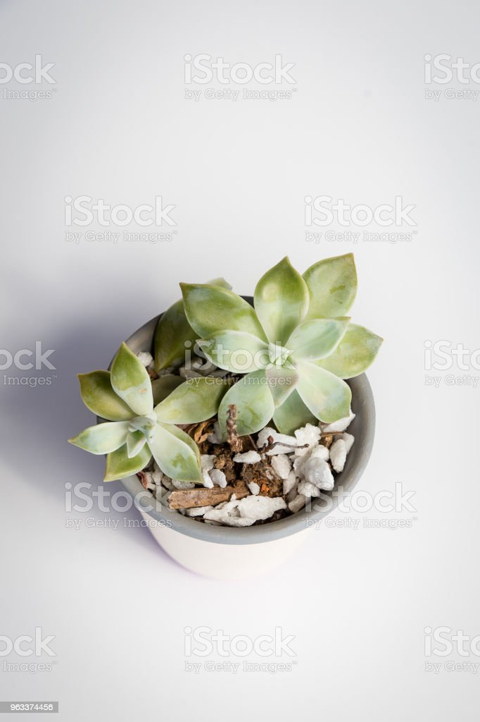 top view of White vase with Crassula ovata, a species of succulent plant, on a white background. The vase has grey and pink stripes - Zbiór zdjęć royalty-free (Bez ludzi)