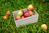 Top view of wooden box full of green and red freshly picked apples standing on the grass in orchard. Harvesting in the domestic garden in autumn.