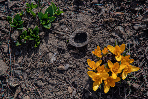 Top view of yellow crocus and green tulip leaves sprouting from brown soil of ground. Beginning of new life. Spring backdrop with copy space. stock photo