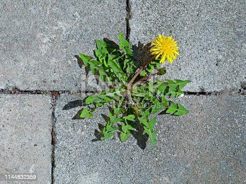 top view of yellow dandelion flower between grey paving stones.