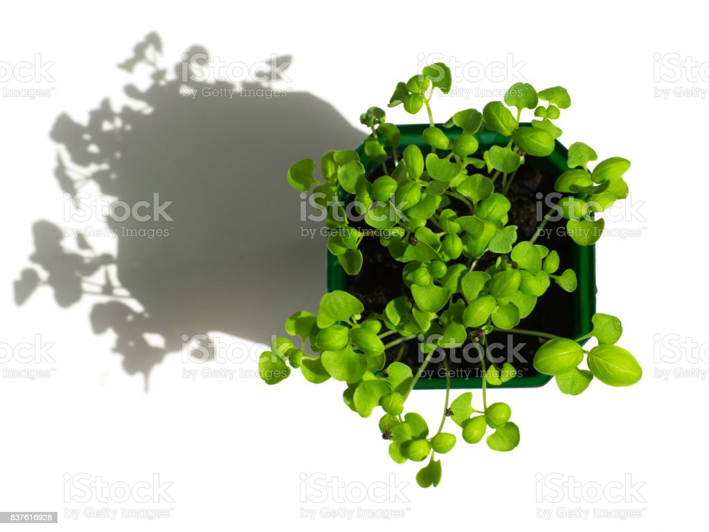 Top view of young green fresh Basil in a pot on a white background with contrast shadows. The germination of beneficial plants at home, natural herbs on the windowsill. stock photo