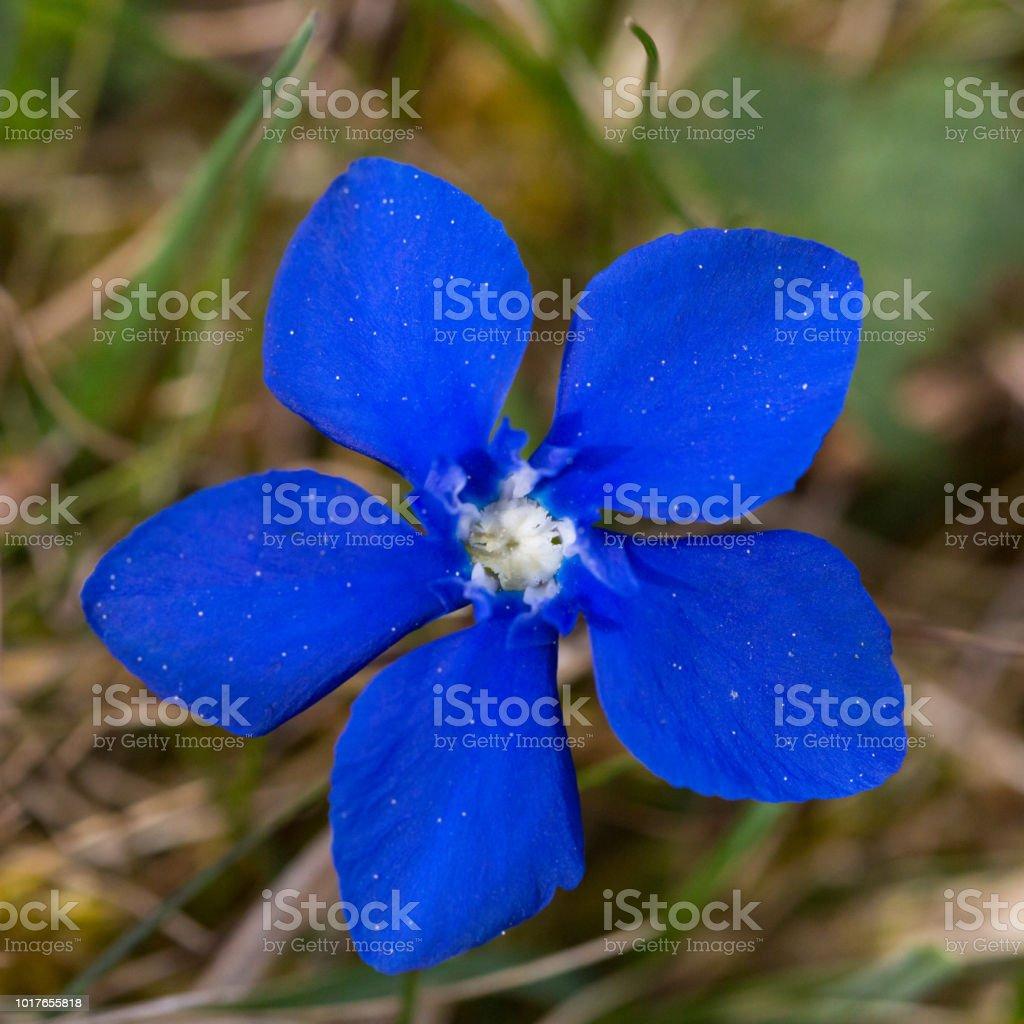 Draufsicht auf blaue Frühlings-Enzian (Gentiana Verna) Blüte – Foto