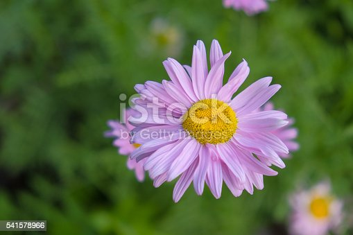 top view on flower chamomile purple and yellow colored with blurry green background