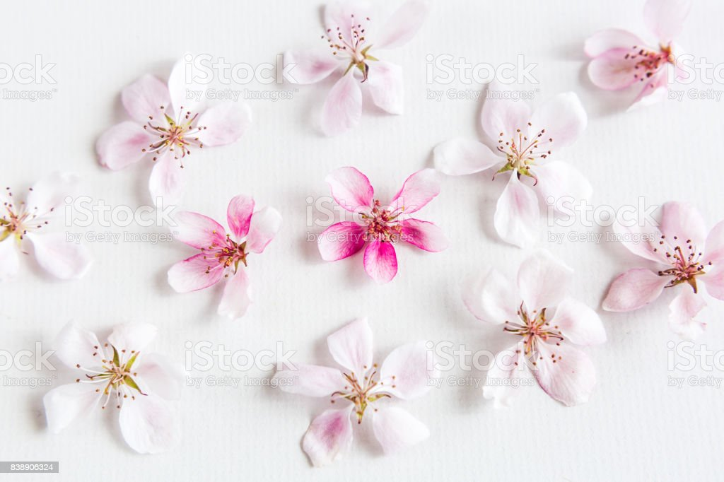 top view on white background filling with sacura flowers. Concept of love. Dof on sacura flower. Concept of love. hi key spring pattern. Dof on sacura flower. Flat lay stock photo