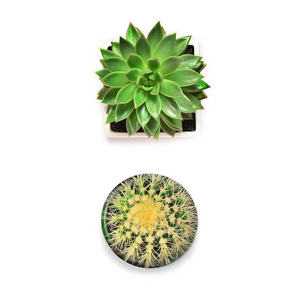 Top view. Succulent and cactus on white background. - foto de acervo