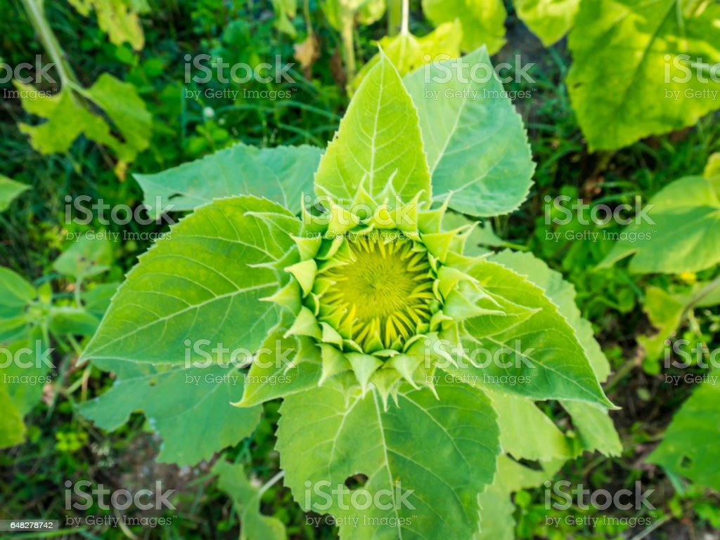 Top View Sunflower Bud Top View Young Or Baby Sunflower Stock Photo ...