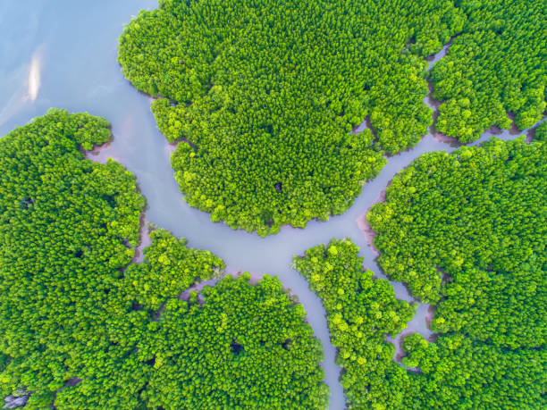 top view tree, beautiful background ,aerial view , mangrove forest, Natural grass texture stock photo
