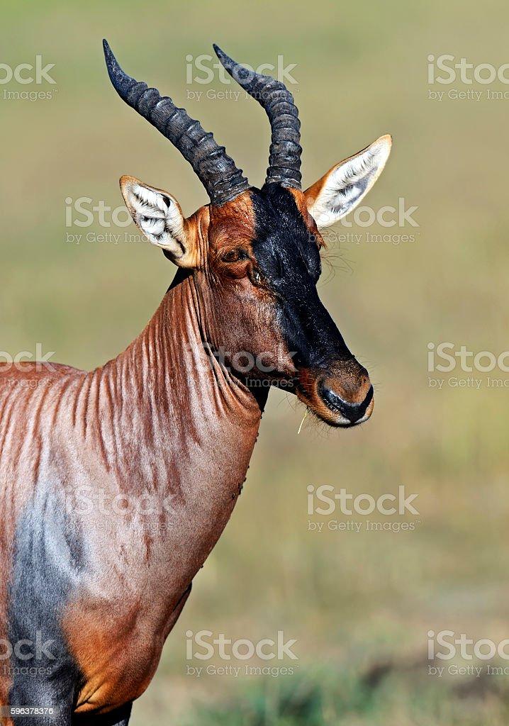 Topi antelope in the savannah stock photo