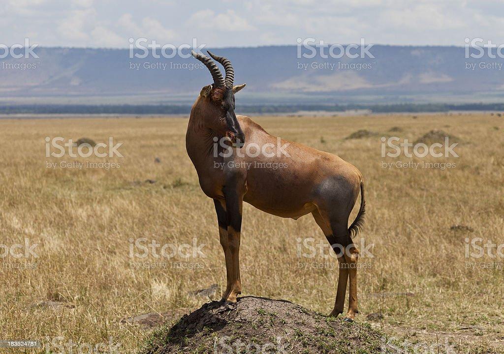 Topi Antelope on Termite Mounds Masai Mara Kenya stock photo