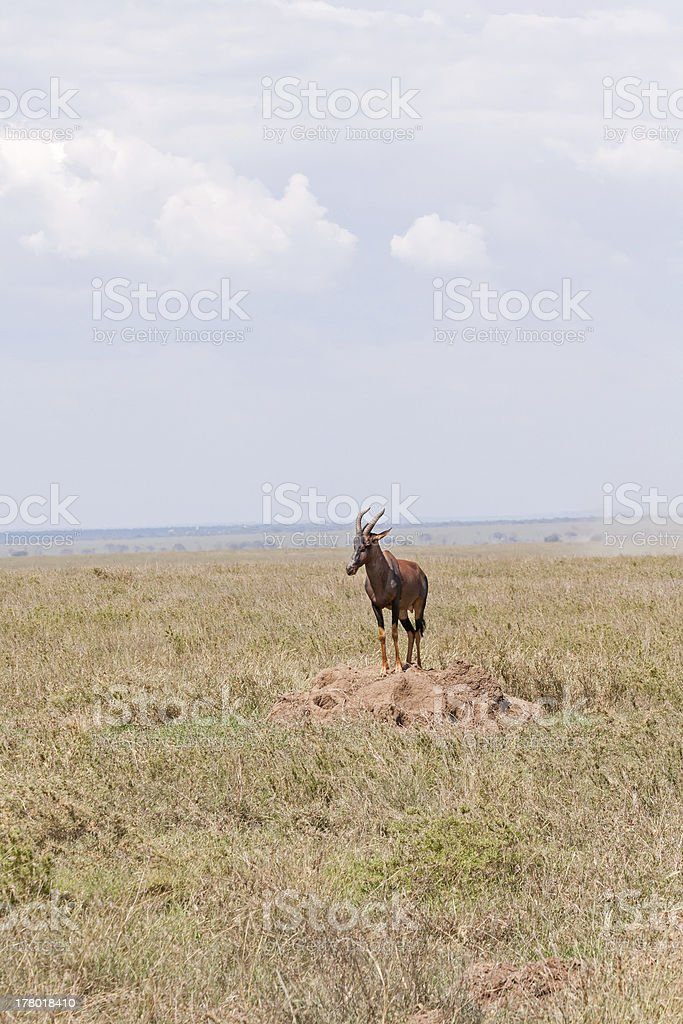 Topi antelope stands on clay heap in savanna plain royalty-free stock photo