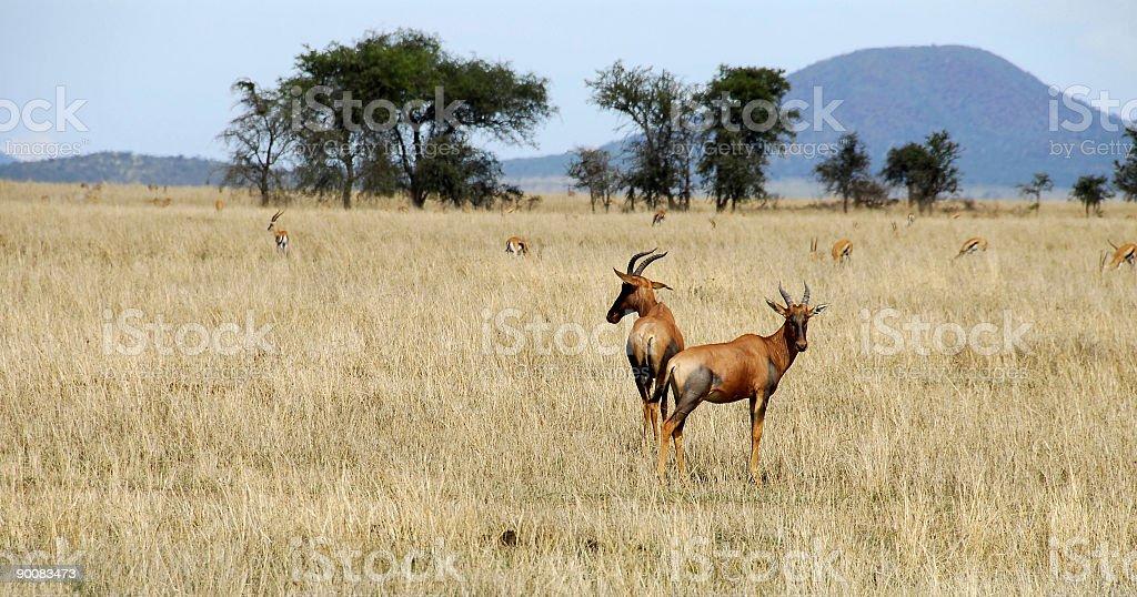 Topi gazelle royalty-free stock photo