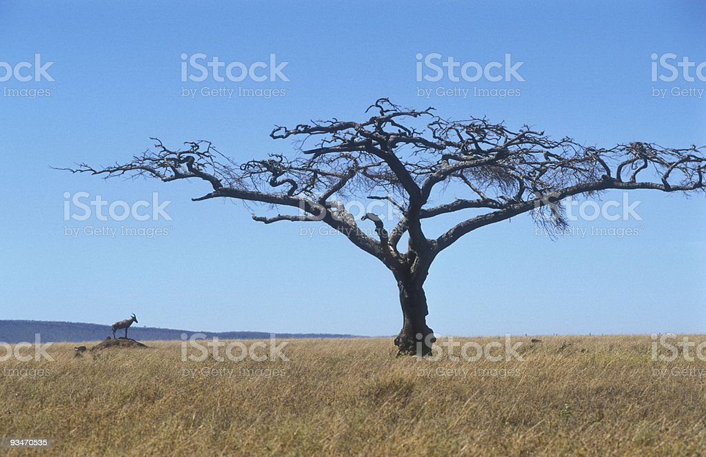 Topi in the Serengeti plains, Tanzania royalty-free stock photo