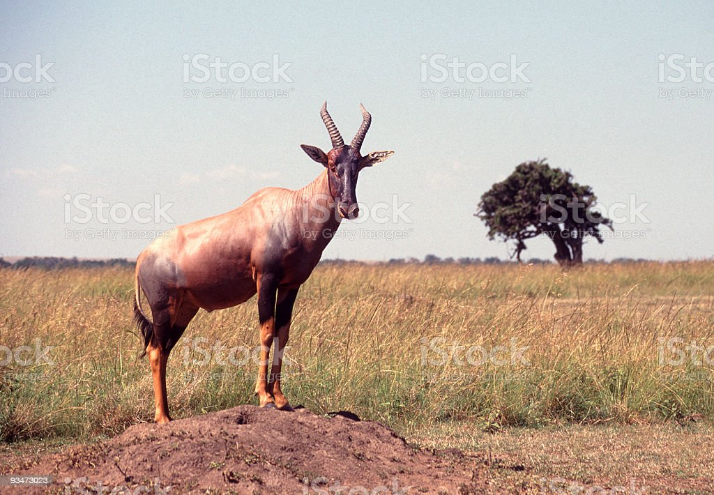 Topi looking out over the Masai Mara stock photo