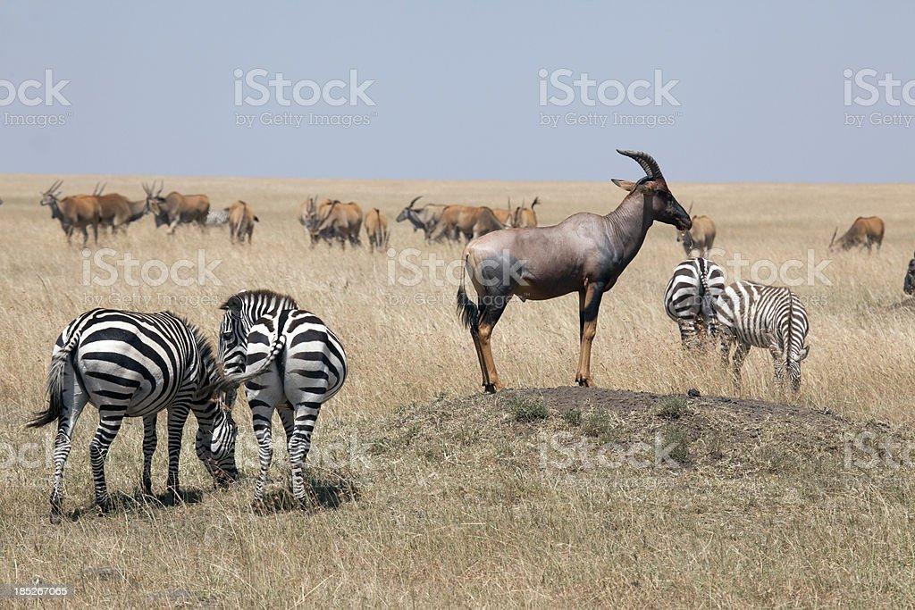 Topi on a termite hill, Masai Mara National Park, Kenia stock photo
