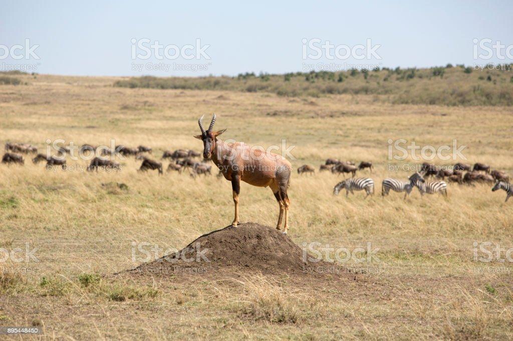 Topi sentinel in front of herds of wildebeasts and zebras in Masai Mara , Olare Motorogi Conservancy, Kenya, East Africa, Africa, stock photo