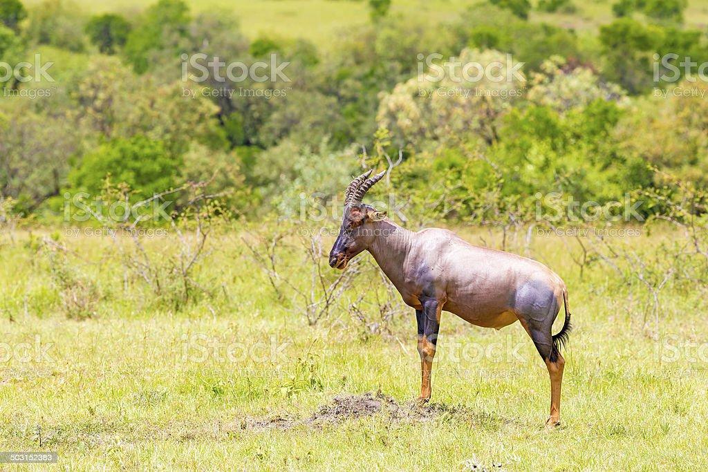 Topi - watching against the predators on peak royalty-free stock photo