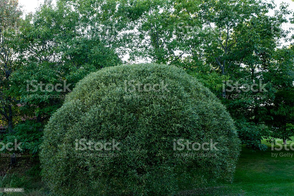 Topiary. Green bush trimmed into round shape. stock photo