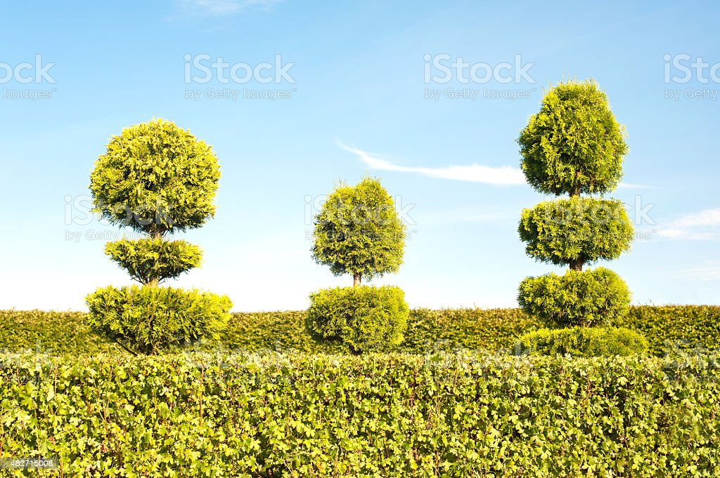 Three topiary green trees with hedge on background in ornamental...