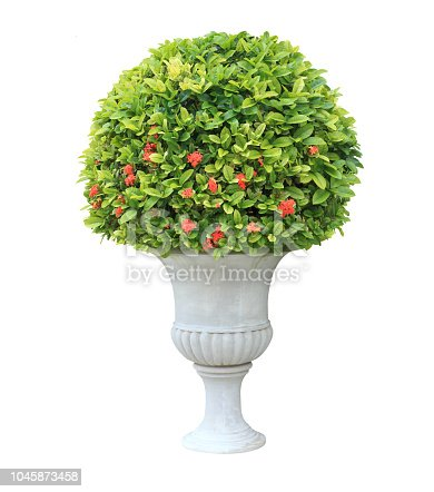 Topiary plant on white urn pot isolated on white background