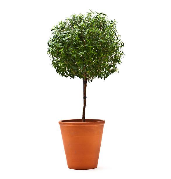 arbre art topiaire - buis photos et images de collection