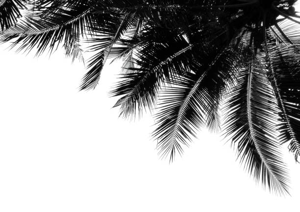 Royalty Free Black White Coconut Tree Background Pictures Images