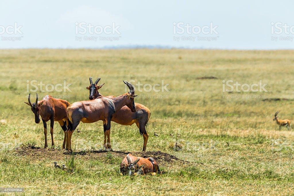 Topis - watching against the predators on peak stock photo