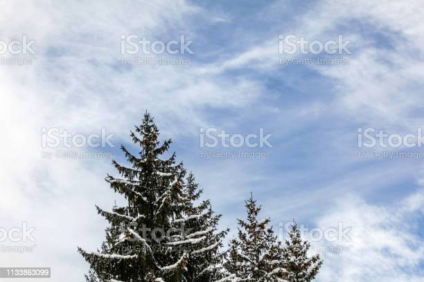 Photo of Tops of two coniferous trees, little bit snow on branches, sky with clouds in background