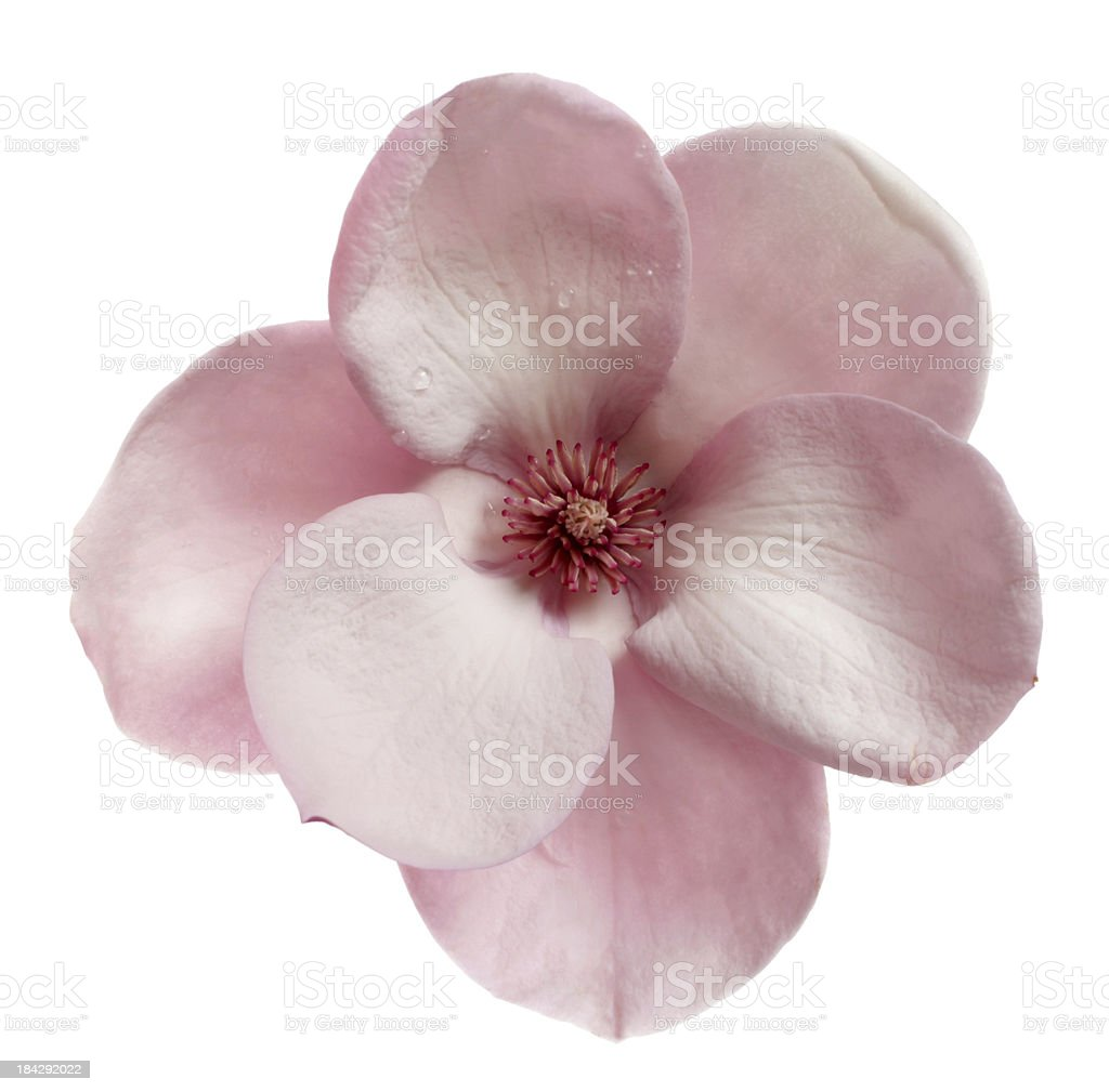 Topview of a magnolia  isolated on white stock photo