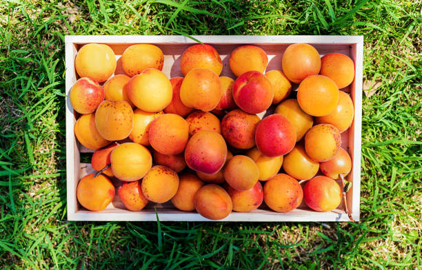 Top-view of a wooden basket of apricots on green field - foto stock