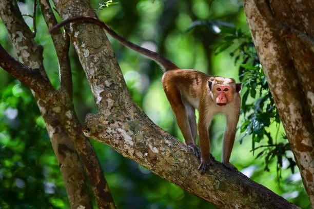 Toque macaque (Macaca sinica) monkey on the tree in Wilpattu. Wildlife scene from Sri Lanka. Monkey on the tree. stock photo