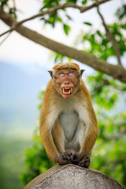 Toque macaque monkey stock photo