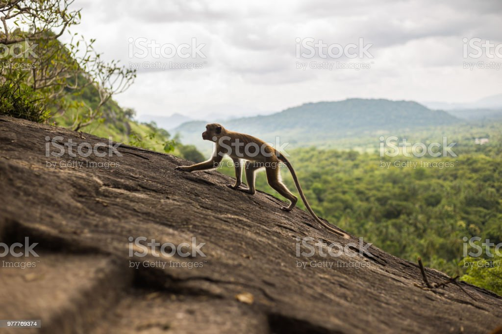 Toque macaque monkey stock photo